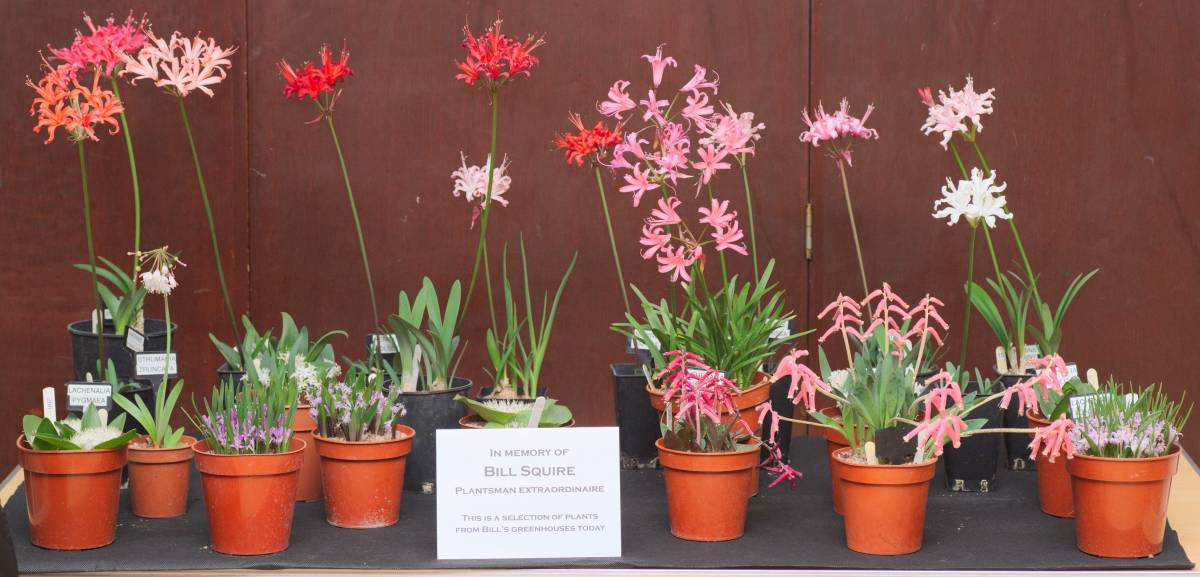 Display of Bill Squire's plants, Dorset AGS, 1/11/2018